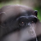 gaialight-save-the-chimps-005