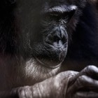 gaialight-save-the-chimps-007