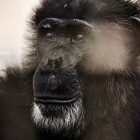 gaialight-save-the-chimps-011