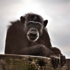 gaialight-save-the-chimps-013