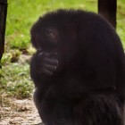 gaialight-save-the-chimps-017