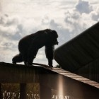 gaialight-save-the-chimps-021