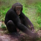 gaialight-save-the-chimps-022