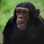 gaialight-save-the-chimps-026