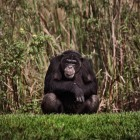 gaialight-save-the-chimps-030