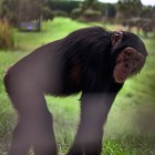 gaialight-save-the-chimps-031