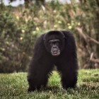 gaialight-save-the-chimps-033