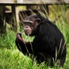 gaialight-save-the-chimps-035