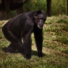 gaialight-save-the-chimps-039