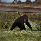 gaialight-save-the-chimps-042