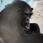 gaialight-save-the-chimps-043