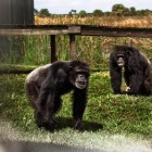 gaialight-save-the-chimps-044