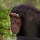 gaialight-save-the-chimps-046
