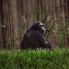 gaialight-save-the-chimps-047