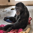 gaialight-save-the-chimps-048