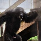 gaialight-save-the-chimps-050
