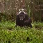 gaialight-save-the-chimps-051