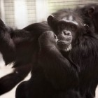 gaialight-save-the-chimps-052