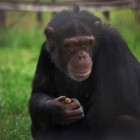 gaialight-save-the-chimps-058