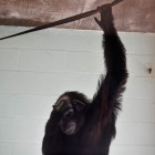 gaialight-save-the-chimps-060