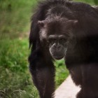 gaialight-save-the-chimps-061