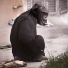 gaialight-save-the-chimps-062