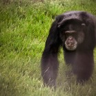 gaialight-save-the-chimps-064