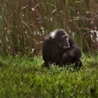 gaialight-save-the-chimps-067
